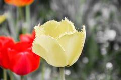 Fermez-vous des belles tulipes hirsutes jaunes fleurissantes dans le jardin dans le printemps Fond coloré de source Jour ensoleil Image libre de droits
