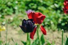 Fermez-vous des belles tulipes noires fleurissantes dans le jardin dans le printemps Fond coloré de source Jour ensoleillé Images stock
