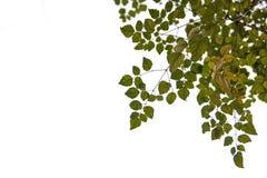Fermez-vous des branches d'arbre d'isolement sur le fond blanc Photo stock