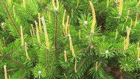 Fermez-vous des branches de pin ou de sapin d'arbre passant le vent clips vidéos