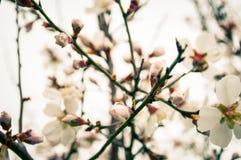 Fermez-vous des branches remplies de fleurs d'amande Images stock