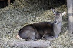 Fermez-vous des cerfs communs affrichés Photographie stock libre de droits