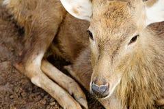 Fermez-vous des cerfs communs d'axe Image stock
