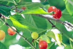 Fermez-vous des cerises rouges fraîches sur la branche Image libre de droits