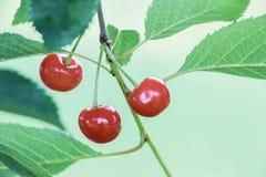 Fermez-vous des cerises rouges fraîches sur la branche Photographie stock libre de droits