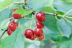 Fermez-vous des cerises rouges fraîches sur la branche Photo stock
