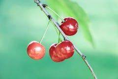 Fermez-vous des cerises rouges sur la branche Photo stock