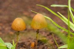 Fermez-vous des champignons, foenisecii de Panaeolus, maharashtra, Inde photographie stock libre de droits