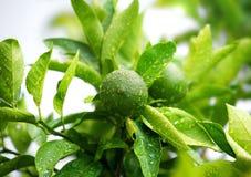 Fermez-vous des chaux vertes sur l'arbre avec des gouttes de pluie Agrume vert Photographie stock libre de droits