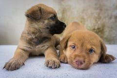 Fermez-vous des chiots jumeaux drôles Photographie stock libre de droits