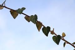 Fermez-vous des coeurs naturels d'usine de lierre devant le ciel bleu photos stock