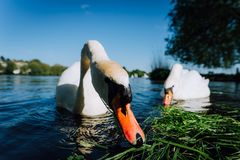Fermez-vous des couples blancs de cygne de grâce étirant son cou et tête vers l'appareil-photo Lac Alster un jour ensoleillé deda Image libre de droits