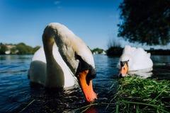 Fermez-vous des couples blancs de cygne de grâce étirant son cou et tête vers l'appareil-photo Lac Alster un jour ensoleillé deda Image stock