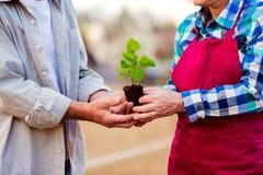 Fermez-vous des couples supérieurs méconnaissables tenant la petite jeune plante Photo libre de droits