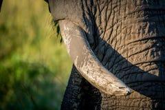 Fermez-vous des défenses d'un vieux taureau d'éléphant image libre de droits