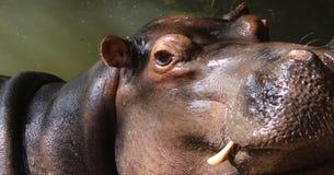Fermez-vous des d?fenses de repr?sentation principales d'hippopotame photo stock