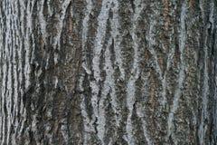 Fermez-vous des détails d'écorce d'arbre - fond ou donnez une consistance rugueuse Images libres de droits