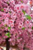 Fermez-vous des fausses fleurs roses de Sakura Photographie stock libre de droits