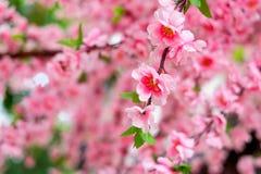 Fermez-vous des fausses fleurs roses de Sakura Photographie stock