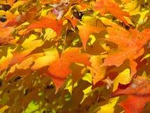 Fermez-vous des feuilles d'érable en automne Photos stock