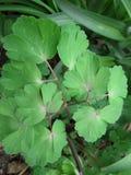 Fermez-vous des feuilles de Columbine Image stock
