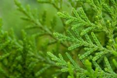 Fermez-vous, des feuilles de pin, vert, vibrant, naturel Images libres de droits