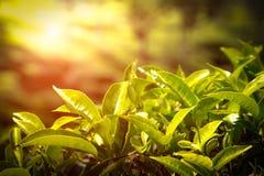 Fermez-vous des feuilles de thé Plantations de thé en Inde Photographie stock libre de droits