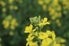 Fermez-vous des feuilles jaunes de moutarde dans les fermes photographie stock