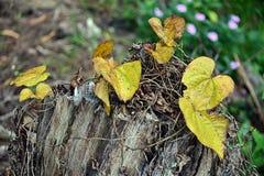 Fermez-vous des feuilles jaunes sur un tronc d'arbre mort photo stock