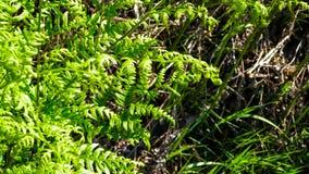 Fermez-vous des feuilles vertes de la foug?re verte photos stock
