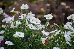 Fermez-vous des fleurs blanches du sepium de Calystegia, liseron de haie Fleurs blanches d'ipomoea Liseron de champ de floraison  image stock