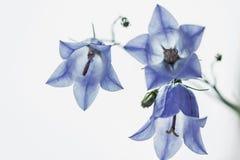 Fermez-vous des fleurs bleues d'horloge Photo libre de droits