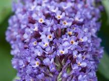 Fermez-vous des fleurs bleues de buddleia Photographie stock