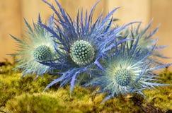 Fermez-vous des fleurs bleues de houx de mer de planum d'Eryngium sur le Ba en bois Photos stock