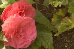 Fermez-vous des fleurs colorées par pêche Image libre de droits