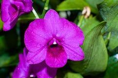 Fermez-vous des fleurs d'orchidée dans le jardin botanique célèbre de Singapour Images libres de droits