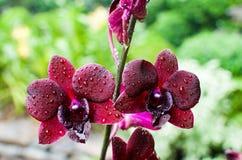 Fermez-vous des fleurs d'orchidée dans le jardin botanique célèbre de Singapour Image libre de droits