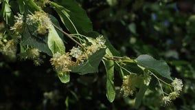 Fermez-vous des fleurs d'un tilleul Les abeilles rassemblent le nectar sur des fleurs d'un tilleul Fleurs d'arbre de tilleul clips vidéos