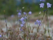 Fermez-vous des fleurs de Bell bleues pourpres en Jasper National Park Images stock