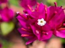 Fermez-vous des fleurs de Bougainvilea image libre de droits