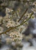 Fermez-vous des fleurs de cerisier au printemps photos stock