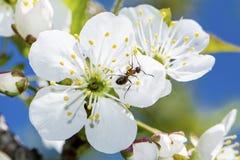 Fermez-vous des fleurs de cerisier d'un ressort, fleurs blanches sur un fond de ciel bleu Photographie stock
