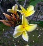 Fermez-vous des fleurs de floraison d'un jasmin images stock
