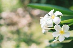 Fermez-vous des fleurs de frangipani de plumeria avec des feuilles, Images libres de droits