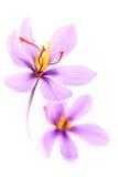 Fermez-vous des fleurs de safran Photographie stock libre de droits