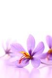 Fermez-vous des fleurs de safran Image libre de droits