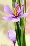 Fermez-vous des fleurs de safran Images stock
