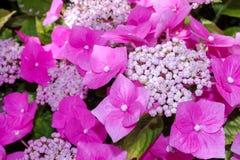 Fermez-vous des fleurs et des sépales assez roses d'hortensia Image libre de droits