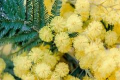 Fermez-vous des fleurs jaunes d'acacia d'or Photos libres de droits