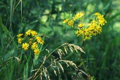 Fermez-vous des fleurs jaunes dans un domaine vert Photo stock